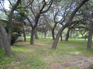 Our front yard with lots of Live Oak Trees